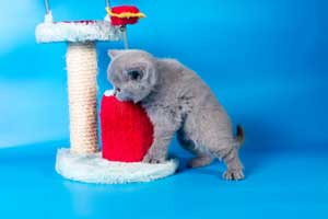Kittens British Shorthair - 108