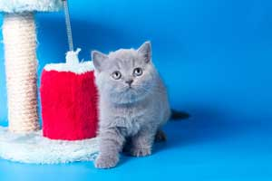 Kittens British Shorthair - 105