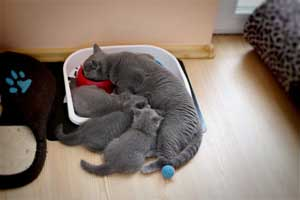 Kittens British Shorthair - 102