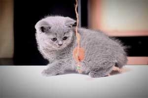 Kittens British Shorthair - 101