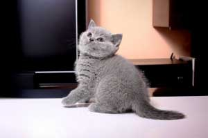 Kittens British Shorthair - 100