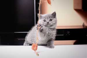 Kittens British Shorthair - 96