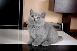 Kittens British Shorthair - 84