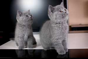Kittens British Shorthair - 74