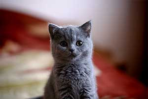 Kittens British Shorthair - 6