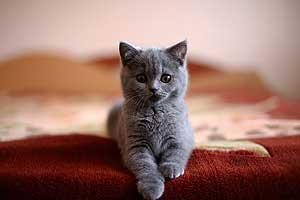 Kittens British Shorthair - 46
