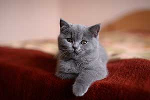 Kittens British Shorthair - 45