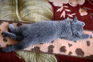 Kittens British Shorthair - 39