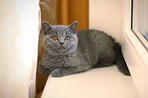 Kittens British Shorthair - 31