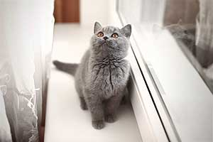 Kittens British Shorthair - 23