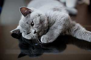 Kittens British Shorthair - 13