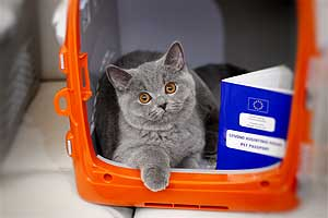 Kittens British Shorthair - 1