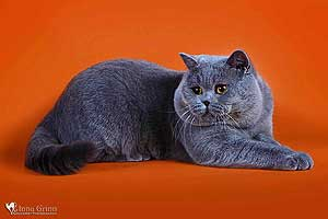 Kittens British Shorthair Cats Father Voltas - 97
