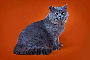 Kittens British Shorthair Cats Father Voltas - 96
