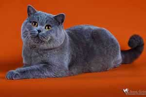 Kittens British Shorthair Cats Father Voltas - 95