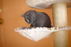 Kittens British Shorthair Cats Mother - 93