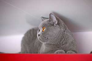 Kittens British Shorthair Cats Mother - 91