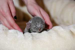 Kittens Newborn British Shorthair - 85