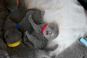 Kittens Newborn British Shorthair - 84