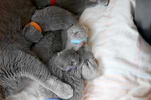 Kittens Newborn British Shorthair - 82