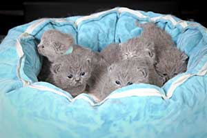 Kittens British Shorthair Weeks - 81