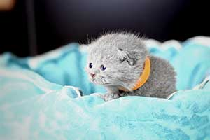 Kittens British Shorthair - 77