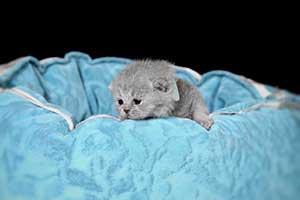 Kittens British Shorthair - 72
