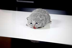 Kittens British Shorthair - 70