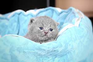 Kittens British Shorthair - 68