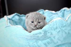 Kittens British Shorthair - 67