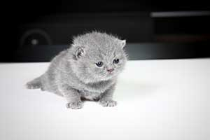 Kittens British Shorthair - 66