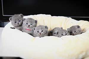 Kittens British Shorthair Blue - 65