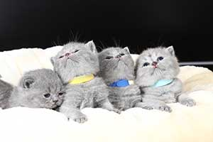 Kittens British Shorthair Blue - 64