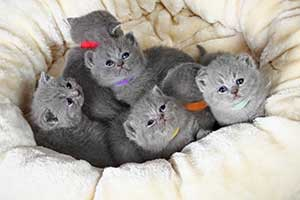 Kittens British Shorthair Blue - 63