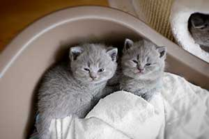 Kittens British Shorthair Blue - 62