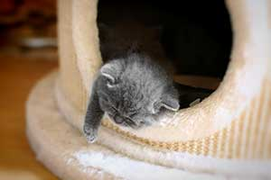 Kittens British Shorthair Blue - 61