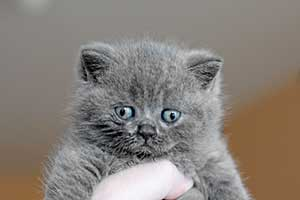 Kittens British Shorthair - 7