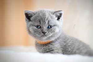 Kittens Blue British - 2