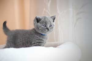 Kittens Blue British - 10