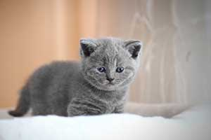 Kittens Blue British - 52