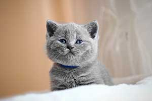 Kittens Blue British - 8