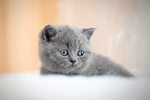 Kittens Blue British - 50