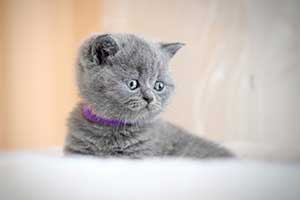 Kittens Blue British - 5