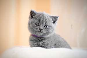 Kittens Blue British - 4