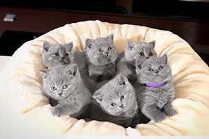 Kittens Blue British - 47