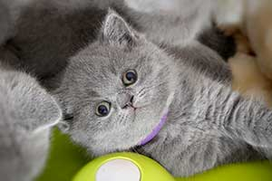 Kittens Blue British - 3