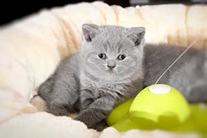 Kittens Blue British - 7