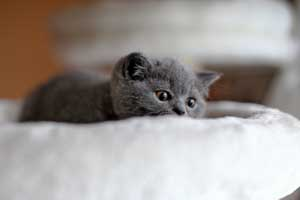 Kittens British Shorthair Blue - 2