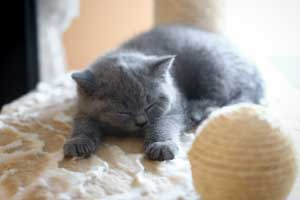 Kittens British Shorthair Cute Sleeping - 1
