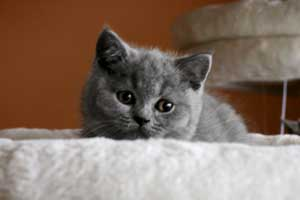 Kittens British Shorthair Playing - 4